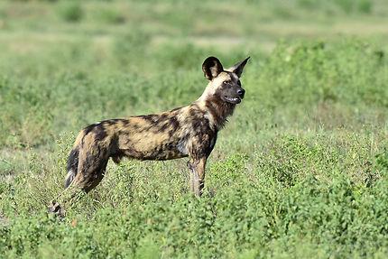 Lycaon au Parc national de Chobe