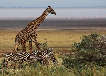 Girafe et zèbres au bord du lac Manyara, Tanzanie