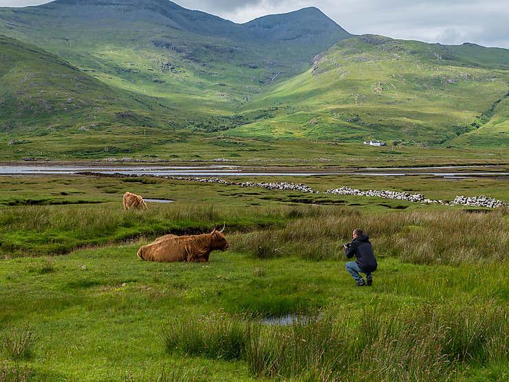 La Highland cattle, une icône