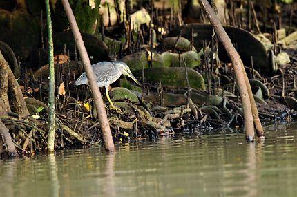 Les mangroves en Banka