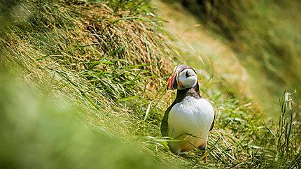 Macareux sur l'ile de Staffa