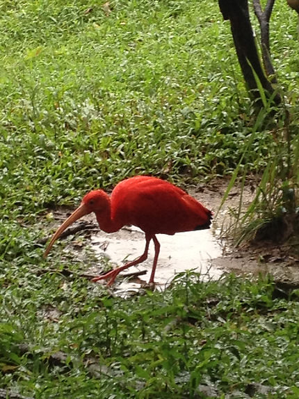 Ibis à Kuala Lumpur Bird Park