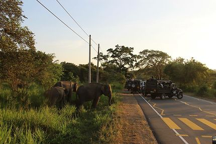 Éléphants prêts à traverser au Sri Lanka