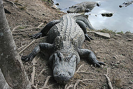 Copain comme crocodile (alligator)