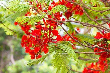 Les fleurs rouge orange sur l'arbre