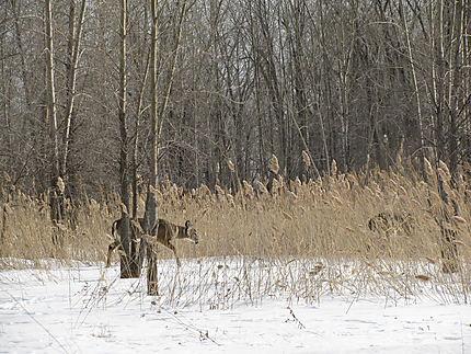 Cerfs de Virginie à Boucherville