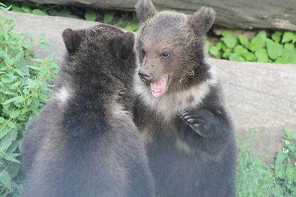 Les oursons de Stockholm au parc de Skansen