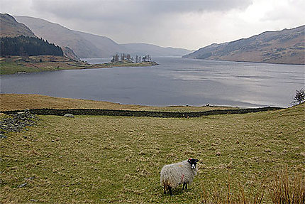 Mouton devant Haweswater