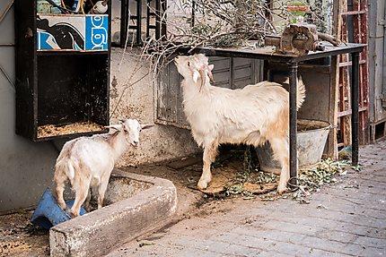 Une chèvre et son petit près de mon auberge