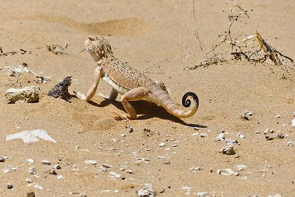 Lézard dans le désert