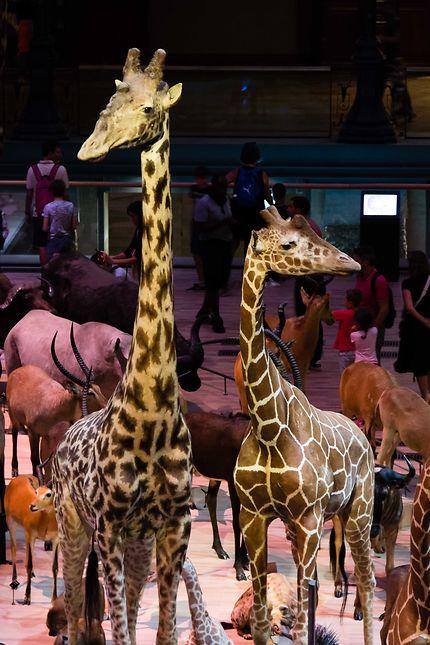 Galerie de l'Evolution, les girafes