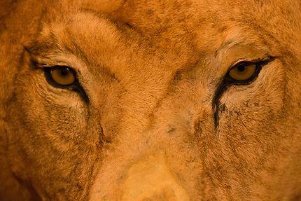 Galerie de l'Evolution, le regard du lion
