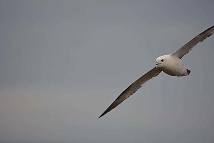 Jonathan Livingston the Islander Seagul