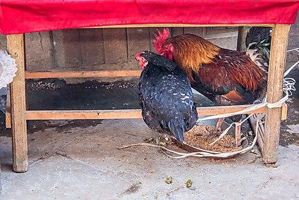Deux poules picorant des graines dans la rue