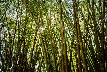 Sous les bambous de Jamaïque