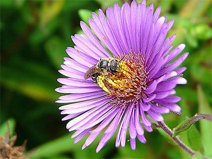 La récolte du pollen