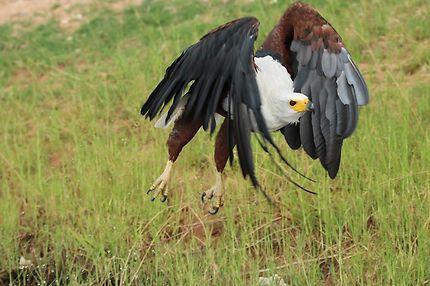 L'aigle vocifère en action