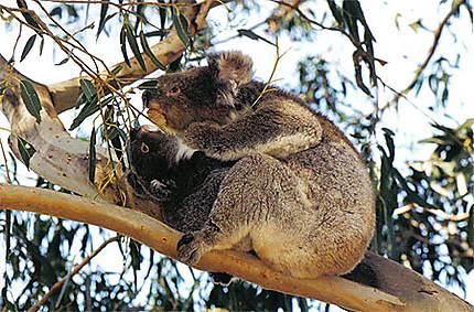 Maman koala et son petit