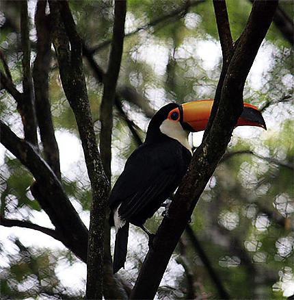 Toucan aux environs d'Iguazu