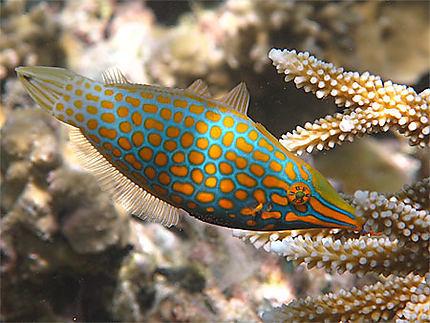 Magnifique poisson limevà long nez