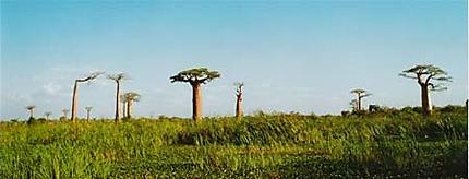 Travail des rizières au milieu des baobabs