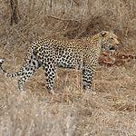 Léoopard au Kruger
