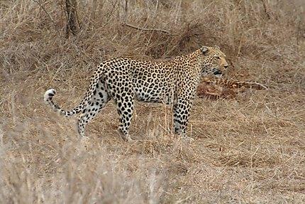 Léopard au Kruger