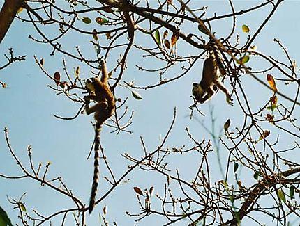 Lémurien cata en suspension