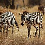 Zèbres, parc national de Tarangire