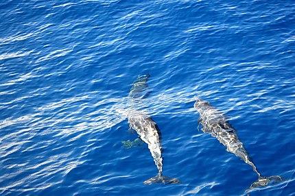 Dauphins dans la baie de Deshaies