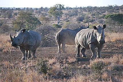 Rencontre avec trois rhinocéros blancs lors d'un morning walk près de Olifant