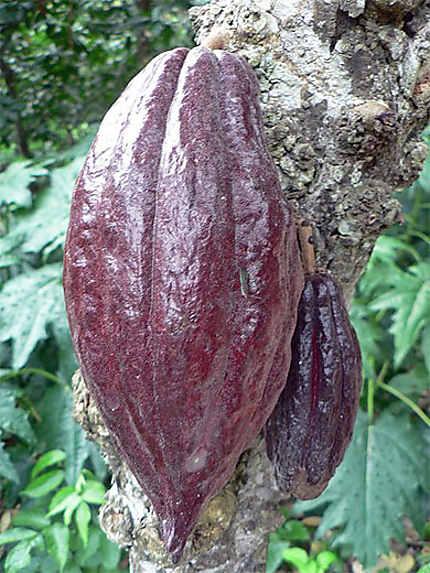 Le fameux cacao criollo de Chuao