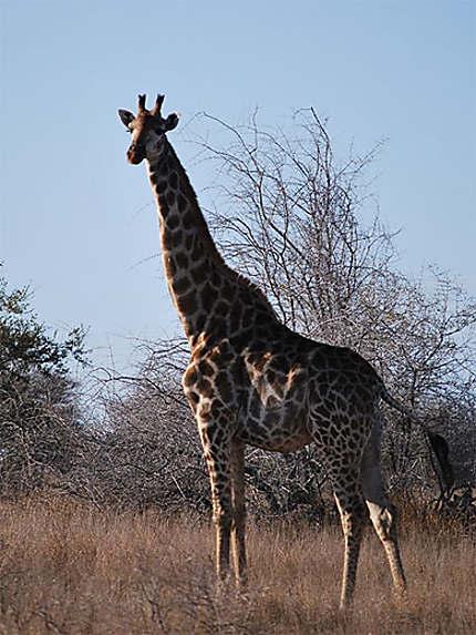 Rencontre avec une girafe lors d'un morning walk près de Olifant