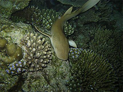 Petit Requin Nourrice