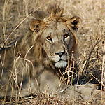 Lion, parc national de Tarangire