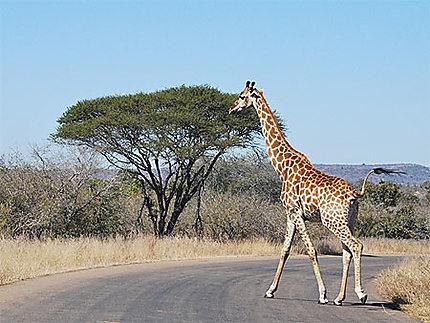 Girafe et acacia
