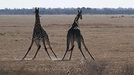 Pas de danse des girafes
