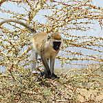 Vervet, parc national de Tarangire