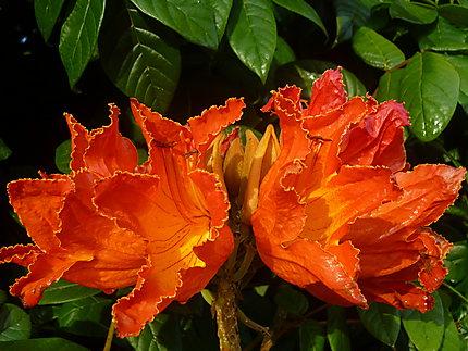 Arbre à grosses fleurs rouges