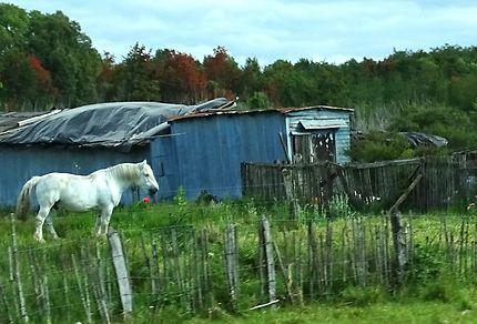 Le cheval blanc de Chiloé