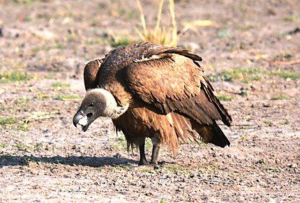 White-backed Vulture - Vautour africain