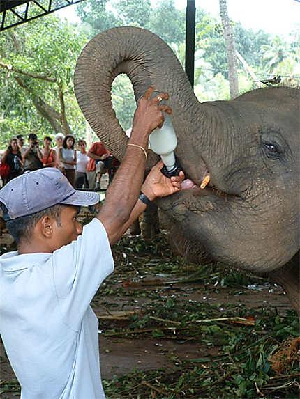 Bébé éléphant au biberon