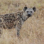Hyène tâchetée, parc national du Serengeti