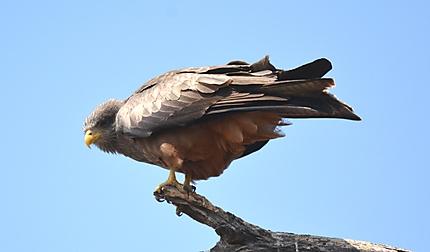 Western Banded Snake Eagle - Circaète cendré