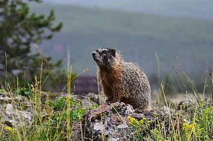 Les animaux du Yellowstone