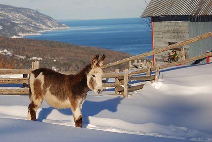 Un petit âne de Port-au-Persil dans Charlevoix
