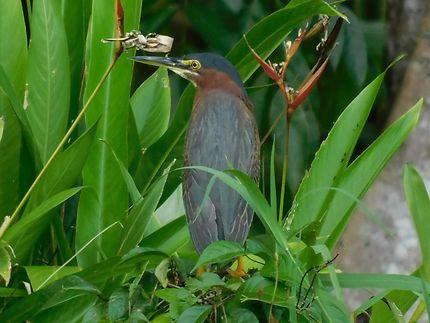 Héron vert au Parc de Tortuguero