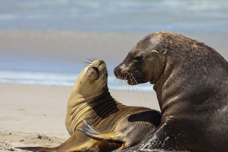 Les lions de mer de Seal Bay