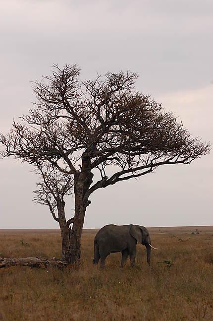 Eléphant, parc national du Serengeti