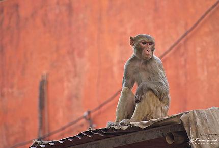 Macaque rhésus à Agra